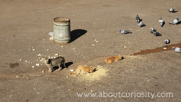 cats and pigeons